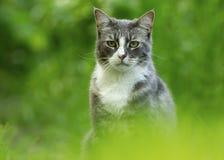 Gato doméstico (catus dos silvestris do Felis) Imagem de Stock