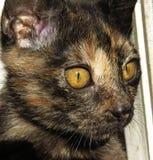 Gato doméstico colorido imagem de stock