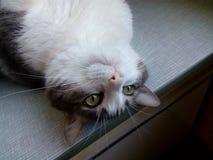 Gato doméstico de branco cinzento do focinho de cabeça para baixo Fotografia de Stock Royalty Free