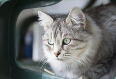 Gato doméstico de prata bonito da raça siberian no jardim Imagens de Stock Royalty Free