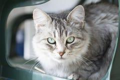 Gato doméstico de prata bonito da raça siberian no jardim Imagem de Stock Royalty Free
