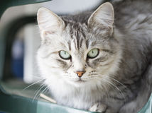 Gato doméstico de prata bonito da raça siberian no jardim Fotos de Stock