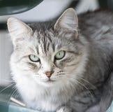Gato doméstico de prata bonito da raça siberian no jardim Foto de Stock Royalty Free