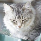 Gato doméstico de prata bonito da raça siberian no jardim Imagem de Stock