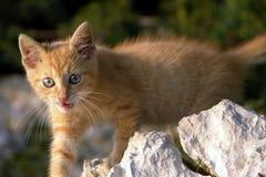 Gato doméstico de Wilde Imagens de Stock