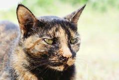 Gato doméstico do cabelo curto fotografia de stock royalty free