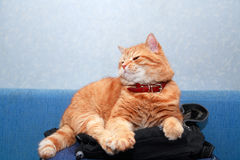 Gato doméstico do gengibre Fotografia de Stock