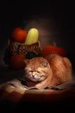 Gato doméstico do gengibre Imagem de Stock