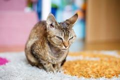 Gato doméstico do puro-sangue de Devon Rex fotografia de stock