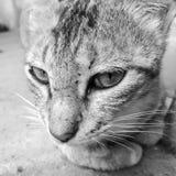Gato doméstico em preto e branco foto de stock royalty free