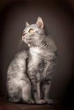Gato doméstico europeu imagens de stock