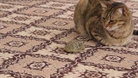 Gato doméstico europeu e pouca tartaruga em um tapete filme