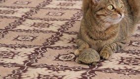 Gato doméstico europeu e pouca tartaruga em um tapete vídeos de arquivo
