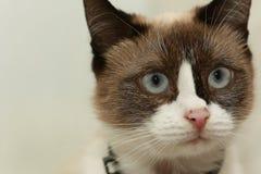 Gato doméstico lindo Fotografía de archivo libre de regalías
