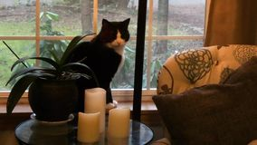 Gato doméstico macio que senta-se na mesa que olha para fora a janela na parte externa do tempo video estoque