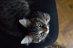 Gato doméstico na cadeira foto de stock royalty free