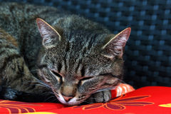 Gato doméstico no descanso Imagens de Stock Royalty Free