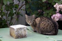 Gato doméstico no jardim Fotos de Stock Royalty Free