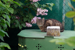 Gato doméstico no jardim Imagens de Stock Royalty Free