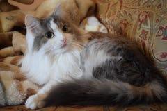 Gato doméstico no sofá Fotos de Stock Royalty Free