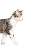 Gato doméstico novo imagens de stock