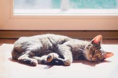 Gato doméstico preguiçoso fotos de stock