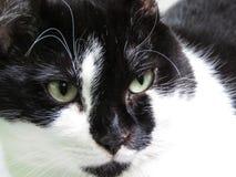 Gato doméstico preto e branco foto de stock royalty free