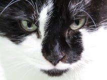 Gato doméstico preto e branco fotografia de stock royalty free