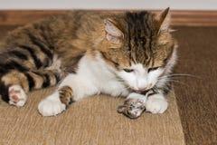 Gato doméstico que caça um rato imagens de stock
