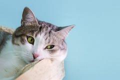 Gato doméstico que encontra-se na cama Fotos de Stock