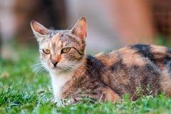 Gato doméstico que encontra-se na grama e anticipar Fotos de Stock Royalty Free