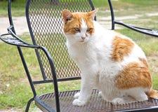 Gato doméstico que senta-se na cadeira Fotos de Stock Royalty Free