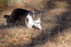 Gato doméstico que sneaking fora Imagem de Stock