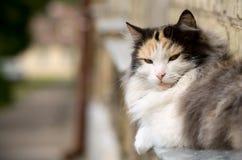Gato doméstico sério Foto de Stock Royalty Free