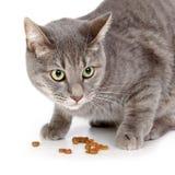 Gato doméstico Imagens de Stock Royalty Free