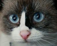 Gato doméstico bonito Imagens de Stock Royalty Free