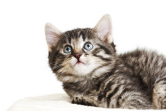 Gato doméstico, gatinho que olha acima Fotografia de Stock Royalty Free