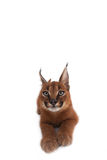 Gato dos jovens de Caracal Fotografia de Stock