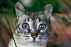 Gato dos olhos azuis fotografia de stock royalty free