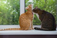Gato dos que se sienta en el travesaño de la ventana Foto de archivo libre de regalías