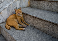 Gato dourado Fotos de Stock Royalty Free