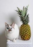 Gato e abacaxi de olhos azuis brancos em um fundo branco Imagem de Stock Royalty Free