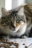 Gato e alimento Imagens de Stock
