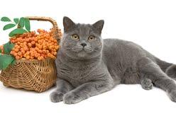 Gato e bagas de Rowan cinzentos em um close up branco do fundo Imagens de Stock