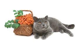 Gato e bagas de Rowan em uma cesta de vime em um fundo branco c Imagem de Stock