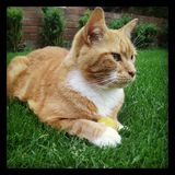 Gato e bola Fotografia de Stock Royalty Free