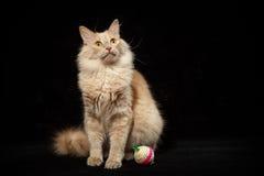 Gato e bola Imagens de Stock Royalty Free