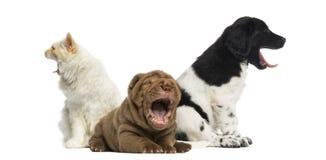 Gato e cães que bocejam imagem de stock