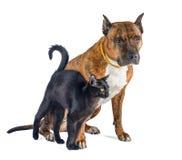 Gato e cão isolados junto no branco Pitbull rajado vermelho com um gato preto pequeno fotos de stock
