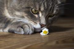Gato e camomila Imagens de Stock Royalty Free